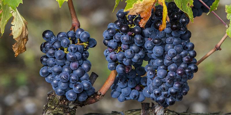 Quali sono le uve destinate alla produzione di vino DOC Rosso di Montalcino