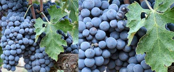 Brunello di Montalcino vitigno sangiovese grosso